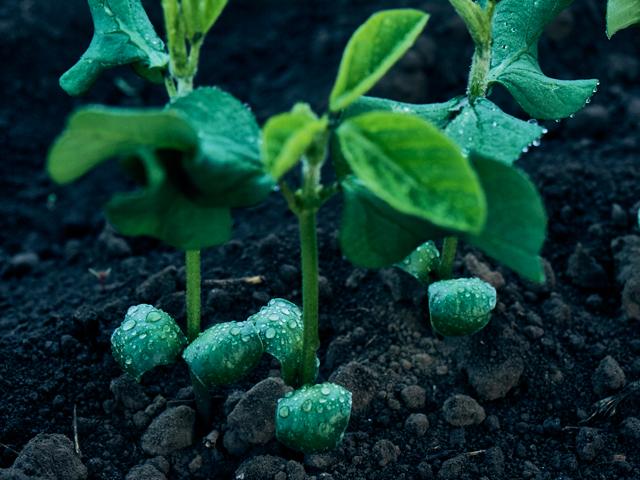 朝露をあびて青白く光る枝豆