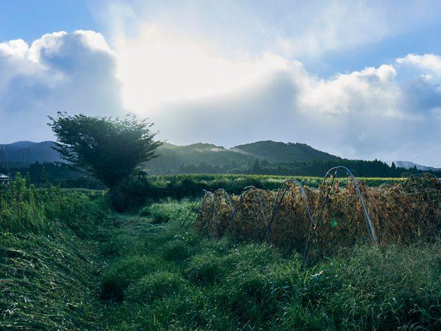 収穫を終えたきゅうり畑は静まりかえっている