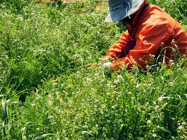 これがそのやま農園のにんじん畑