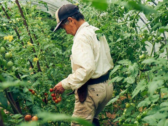 いよいよトマトの収穫、もうすぐ鹿児島の夏がやってくる